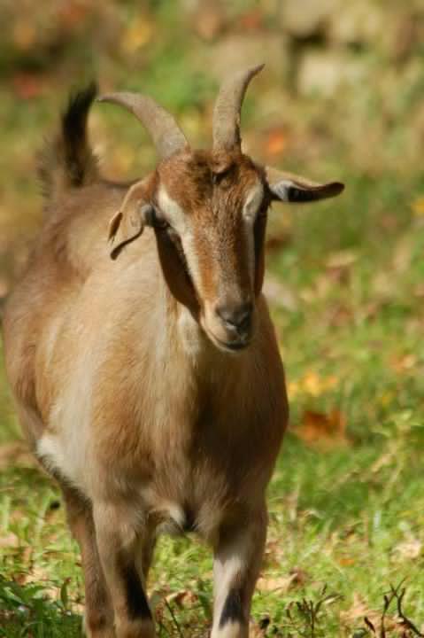 M  R  Goats - Kiko Goats M  R  Goats